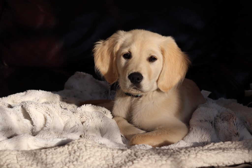 golden retriever puppy Allie - stages of online business is like raising a puppy